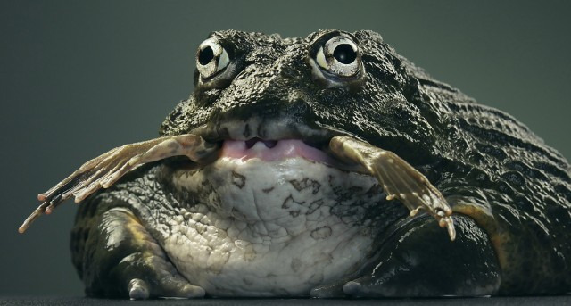 Frog Eating