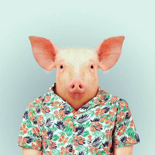 Pig in Shirt