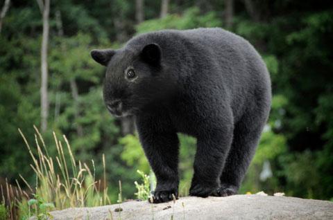 Guinea Bear