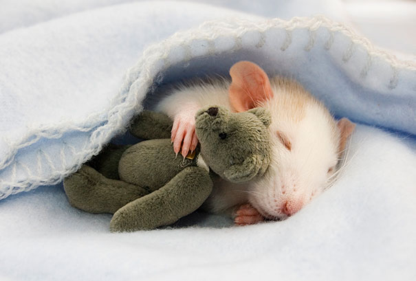 rats-and-teddy-bears-1