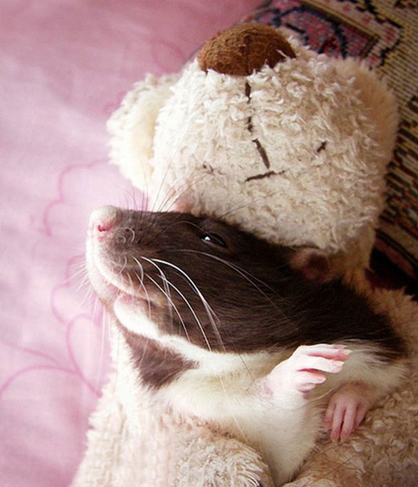 rats-and-teddy-bears-10