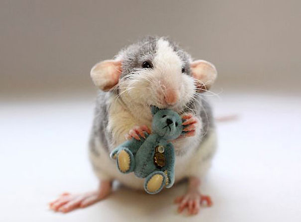 Can You Believe That Rats Could Play with Teddy Bears