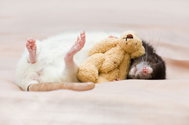 rats-and-teddy-bears-2