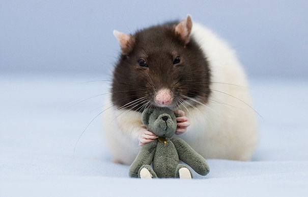rats-and-teddy-bears-3