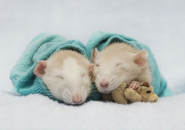 rats-and-teddy-bears-4