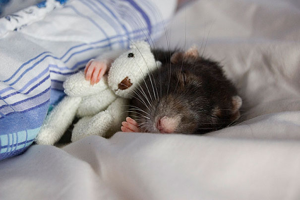 rats-and-teddy-bears-5