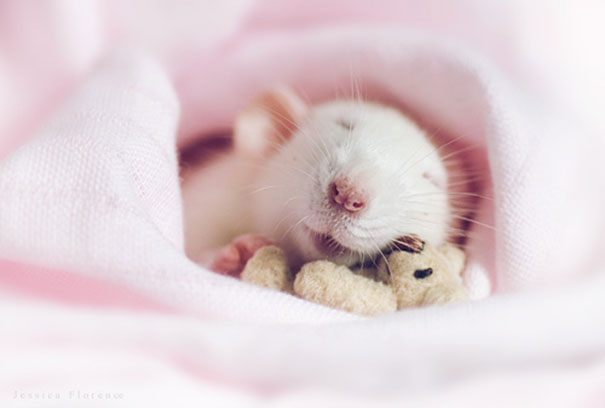 rats-and-teddy-bears-6