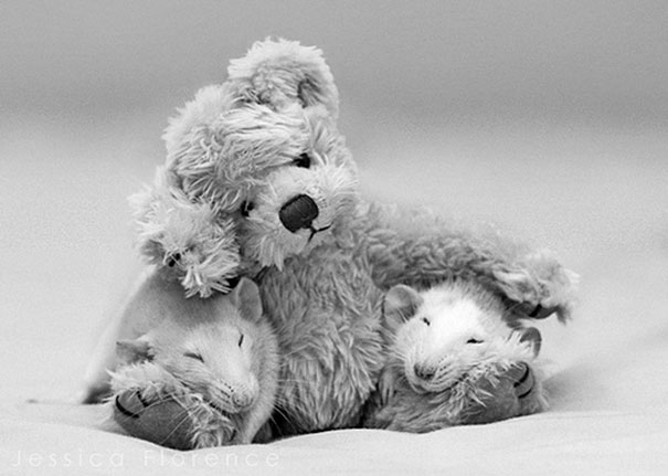 rats-and-teddy-bears-7