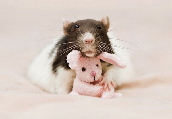rats-and-teddy-bears-8