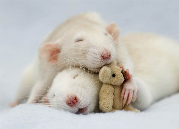 rats-and-teddy-bears-9